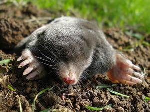 Garden Mole Extermination Service