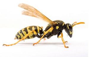 Wasp Extermination Service